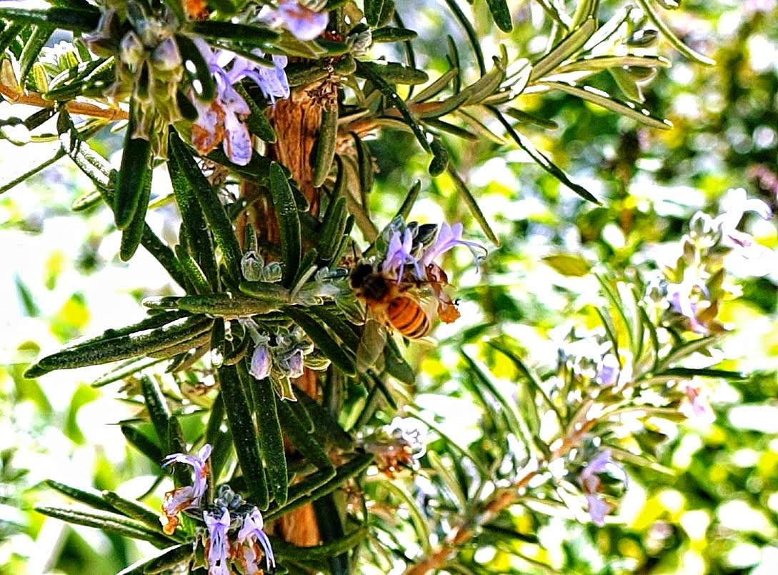 Bee on rosemary